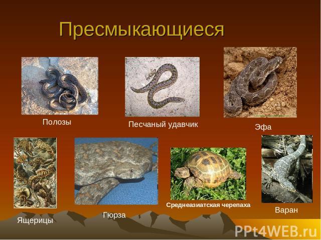 Пресмыкающиеся Песчаный удавчик Среднеазиатская черепаха Полозы Варан Ящерицы Гюрза Эфа