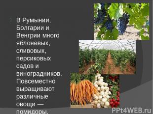 В Румынии, Болгарии и Венгрии много яблоневых, сливовых, персиковых садов и вино