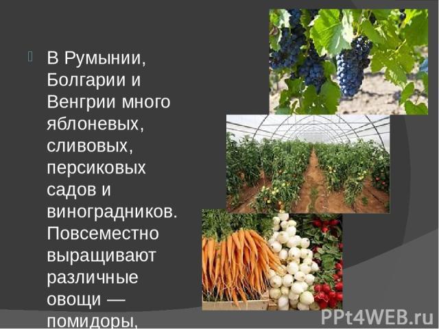 В Румынии, Болгарии и Венгрии много яблоневых, сливовых, персиковых садов и виноградников. Повсеместно выращивают различные овощи — помидоры, огурцы, сладкий перец. Без овощей в этих странах практически не обходится почти ни одно блюдо. Фрукты и ово…