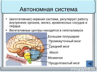 Автономная система (вегетативная) нервная система, регулирует работу внутренних