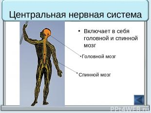 Центральная нервная система Включает в себя головной и спинной мозг Головной моз
