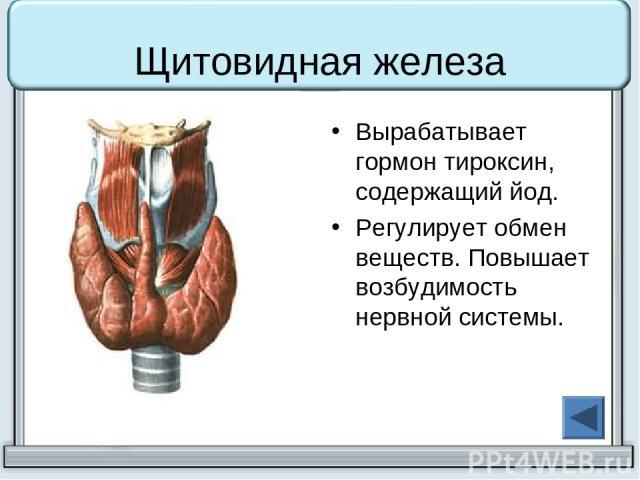 Щитовидная железа Вырабатывает гормон тироксин, содержащий йод. Регулирует обмен веществ. Повышает возбудимость нервной системы.