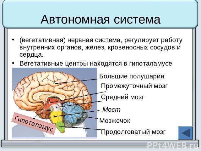 Автономная система (вегетативная) нервная система, регулирует работу внутренних органов, желез, кровеносных сосудов и сердца. Вегетативные центры находятся в гипоталамусе Гипоталамус Большие полушария Промежуточный мозг Средний мозг Мост Мозжечок Пр…