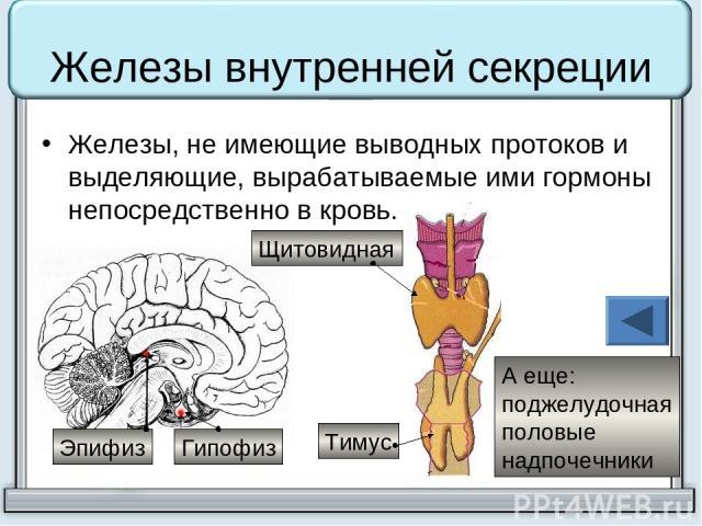 Железы внутренней секреции Железы, не имеющие выводных протоков и выделяющие, вырабатываемые ими гормоны непосредственно в кровь. Тимус Щитовидная А еще: поджелудочная половые надпочечники