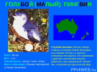 ГОЛУБОЙ (МАЛЫЙ) ПИНГВИН Рост: 38 см. Вес: 1 кг. Численность: около 1 млн. птиц М