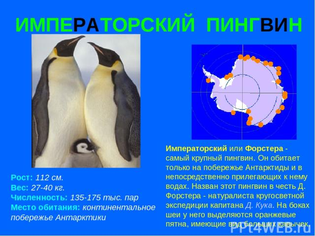 ИМПЕРАТОРСКИЙ ПИНГВИН Рост: 112 см. Вес: 27-40 кг. Численность: 135-175 тыс. пар Место обитания: континентальное побережье Антарктики Императорский или Форстера - самый крупный пингвин. Он обитает только на побережье Антарктиды и в непосредственно п…