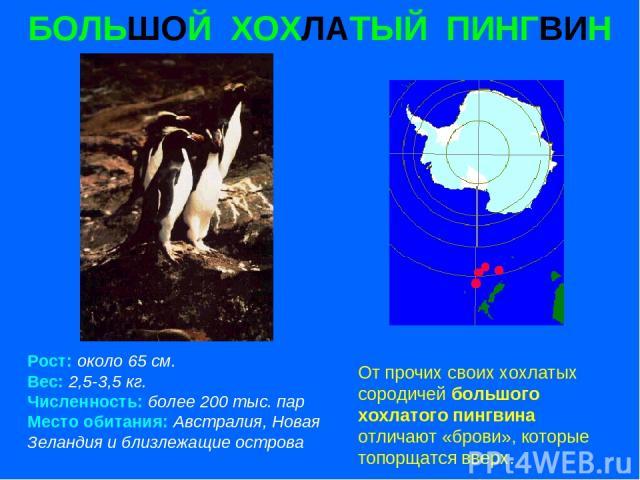БОЛЬШОЙ ХОХЛАТЫЙ ПИНГВИН Рост: около 65 см. Вес: 2,5-3,5 кг. Численность: более 200 тыс. пар Место обитания: Австралия, Новая Зеландия и близлежащие острова От прочих своих хохлатых сородичей большого хохлатого пингвина отличают «брови», которые топ…