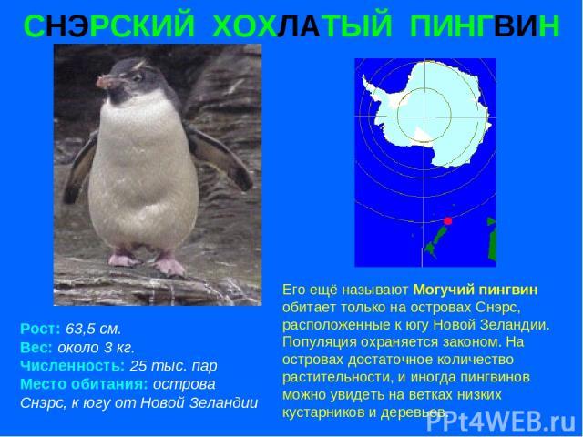 СНЭРСКИЙ ХОХЛАТЫЙ ПИНГВИН Рост: 63,5 см. Вес: около 3 кг. Численность: 25 тыс. пар Место обитания: острова Снэрс, к югу от Новой Зеландии Его ещё называют Могучий пингвин обитает только на островах Снэрс, расположенные к югу Новой Зеландии. Популяци…