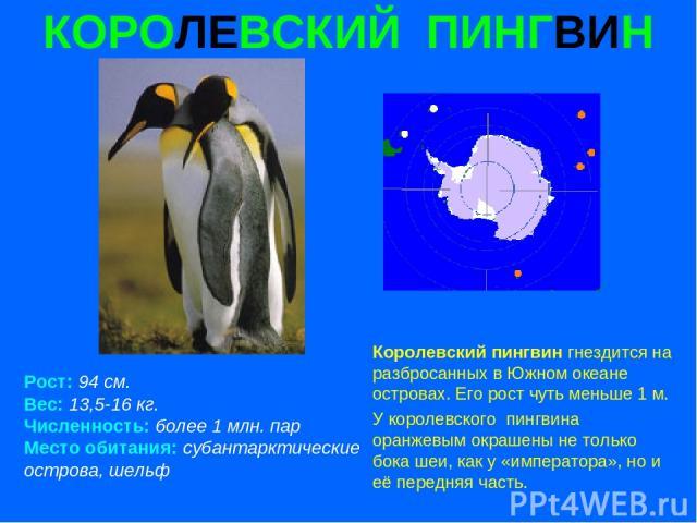 КОРОЛЕВСКИЙ ПИНГВИН Рост: 94 см. Вес: 13,5-16 кг. Численность: более 1 млн. пар Место обитания: субантарктические острова, шельф Королевский пингвин гнездится на разбросанных в Южном океане островах. Его рост чуть меньше 1 м. У королевского пингвина…
