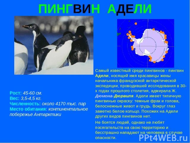 ПИНГВИН АДЕЛИ Рост: 45-60 см. Вес: 3,5-4,5 кг. Численность: около 4170 тыс. пар Место обитания: континентальное побережье Антарктики Самый известный среди пингвинов - пингвин Адели, носящий имя красавицы жены начальника французской антарктической эк…