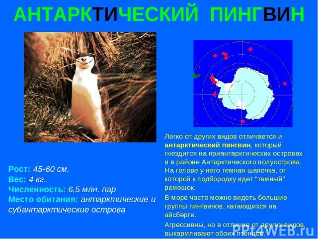 АНТАРКТИЧЕСКИЙ ПИНГВИН Рост: 45-60 см. Вес: 4 кг. Численность: 6,5 млн. пар Место обитания: антарктические и субантарктические острова Легко от других видов отличается и антарктический пингвин, который гнездится на приантарктических островах и в рай…