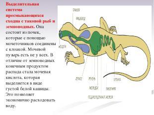 Выделительная система пресмыкающихся сходна с таковой рыб и земноводных. Она сос