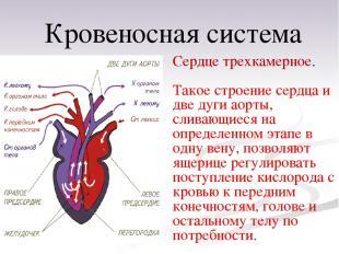 Сердце трехкамерное. Такое строение сердца и две дуги аорты, сливающиеся на опре