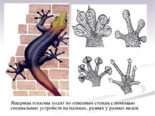 Ящерицы гекконы ходят поотвесным стенам спомощью специальных устройств на паль