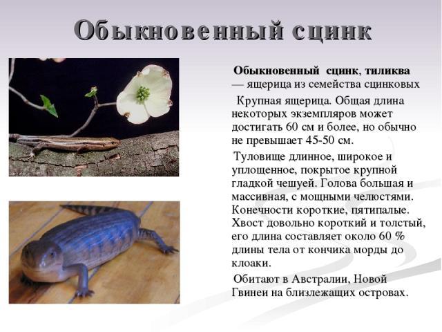 Обыкновенный сцинк Обыкновенный сцинк, тиликва — ящерица из семейства сцинковых Крупная ящерица. Общая длина некоторых экземпляров может достигать 60 см и более, но обычно не превышает 45-50 см. Туловище длинное, широкое и уплощенное, покрытое крупн…