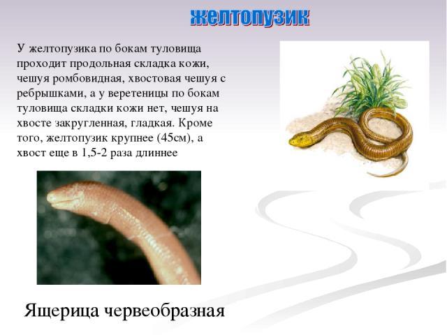 У желтопузика по бокам туловища проходит продольная складка кожи, чешуя ромбовидная, хвостовая чешуя с ребрышками, а у веретеницы по бокам туловища складки кожи нет, чешуя на хвосте закругленная, гладкая. Кроме того, желтопузик крупнее (45см), а хво…