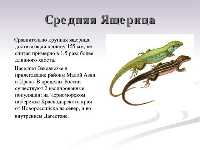 Средняя Ящерица Сравнительно крупная ящерица, достигающая в длину 155 мм, не считая примерно в 1.5 раза более длинного хвоста. Населяет Закавказье и прилегающие районы Малой Азии и Ирана. В пределах России существуют 2 изолированные популяции: на Че…