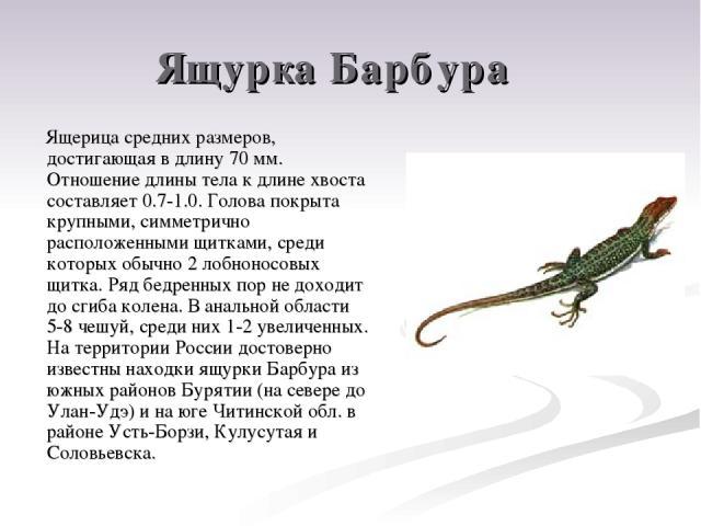 Ящурка Барбура Ящерица средних размеров, достигающая в длину 70 мм. Отношение длины тела к длине хвоста составляет 0.7-1.0. Голова покрыта крупными, симметрично расположенными щитками, среди которых обычно 2 лобноносовых щитка. Ряд бедренных пор не …
