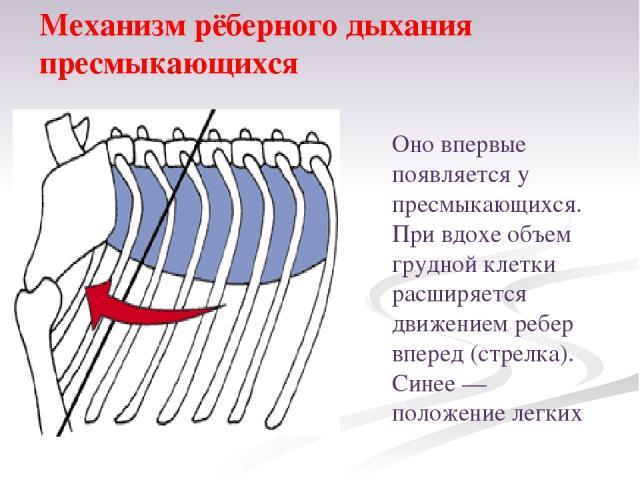 Оно впервые появляется у пресмыкающихся. При вдохе объем грудной клетки расширяется движением ребер вперед (стрелка). Синее— положение легких Механизм рёберного дыхания пресмыкающихся