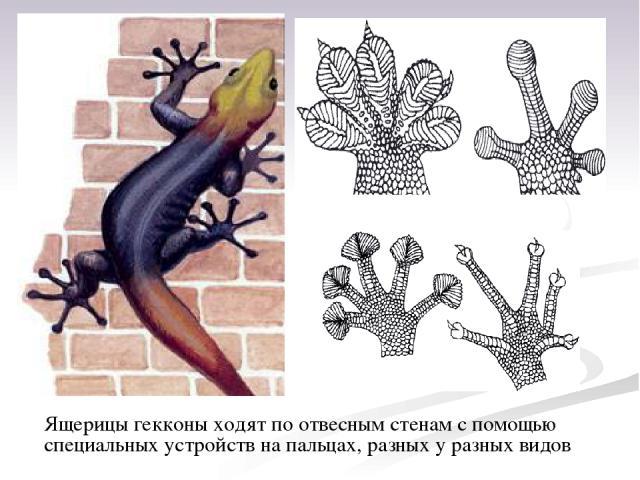 Ящерицы гекконы ходят поотвесным стенам спомощью специальных устройств на пальцах, разных у разных видов