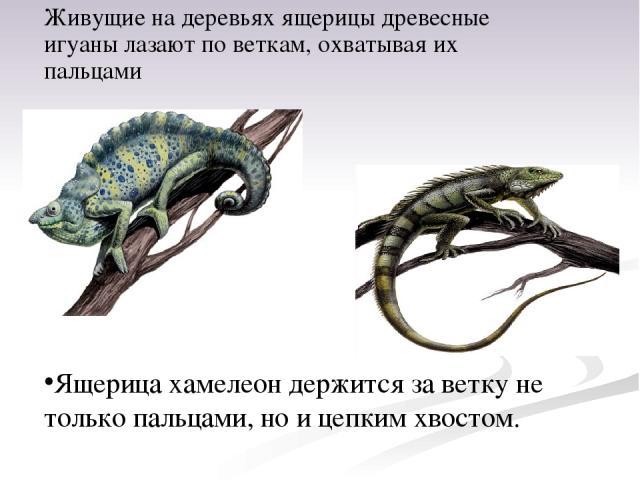 Живущие на деревьях ящерицы древесные игуаны лазают по веткам, охватывая их пальцами Ящерица хамелеон держится за ветку не только пальцами, но и цепким хвостом.