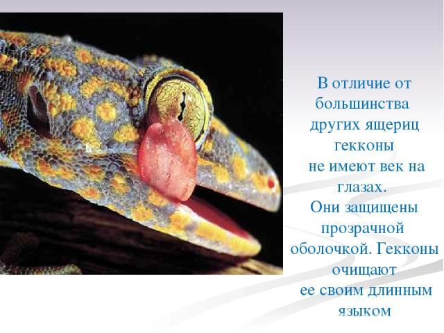 В отличие от большинства других ящериц гекконы не имеют век на глазах. Они защищены прозрачной оболочкой. Гекконы очищают ее своим длинным языком