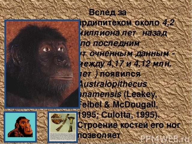 Australopithecus anamensis Вслед за ардипитеком около 4,2 миллиона лет назад (по последним уточненным данным - между 4,17 и 4,12 млн. лет) появился Australopithecus anamensis (Leakey, Feibel & McDougall, 1995; Culotta, 1995). Строение костей его ног…
