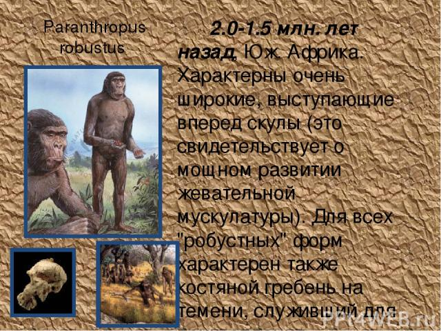 Paranthropus robustus 2.0-1.5 млн. лет назад, Юж. Африка. Характерны очень широкие, выступающие вперед скулы (это свидетельствует о мощном развитии жевательной мускулатуры). Для всех