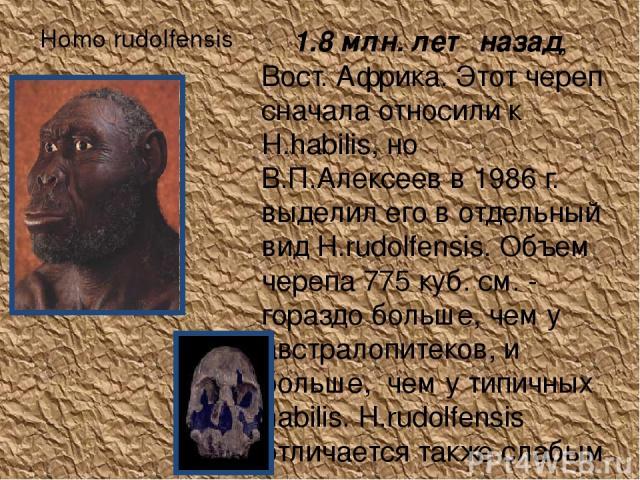 Homo rudolfensis 1.8 млн. лет назад, Вост. Африка. Этот череп сначала относили к H.habilis, но В.П.Алексеев в 1986 г. выделил его в отдельный вид H.rudolfensis. Объем черепа 775 куб. см. - гораздо больше, чем у австралопитеков, и больше, чем у типи…