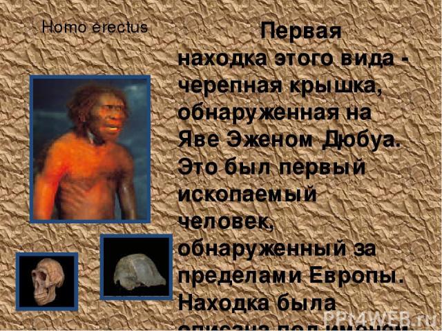 Homo erectus Первая находка этого вида - черепная крышка, обнаруженная на Яве Эженом Дюбуа. Это был первый ископаемый человек, обнаруженный за пределами Европы. Находка была описана под именем Pithecanthropus erectus. Позже на Яве найдено еще около …