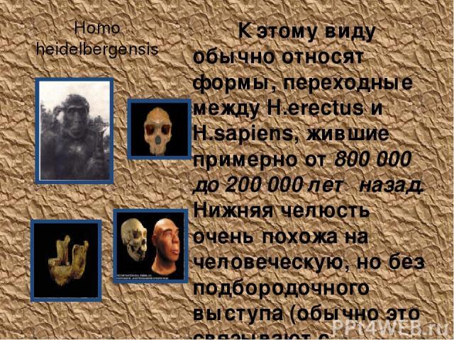 Homo heidelbergensis К этому виду обычно относят формы, переходные между H.erectus и H.sapiens, жившие примерно от 800 000 до 200 000 лет назад. Нижняя челюсть очень похожа на человеческую, но без подбородочного выступа (обычно это связывают с нераз…