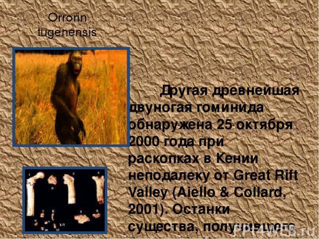 Orrorin tugenensis Другая древнейшая двуногая гоминида обнаружена 25 октября 2000 года при раскопках в Кении неподалеку от Great Rift Valley (Aiello & Collard, 2001). Останки существа, получившего прозвище Человек Миллениума, но официально названног…