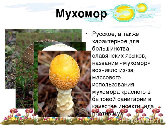 Мухомор Русское, а также характерное для большинства славянских языков, название «мухомор» возникло из-за массового использования мухомора красного в бытовой санитарии в качестве инсектицида против мух