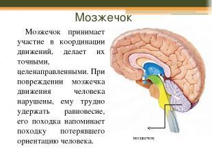 Мозжечок Мозжечок принимает участие в координации движений, делает их точными, ц