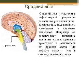 Средний мозг Средний мозг – участвует в рефлекторной регуляции различного рода д