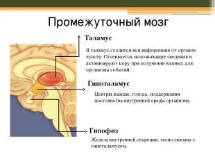 Промежуточный мозг Таламус В таламус сходится вся информация от органов чувств.