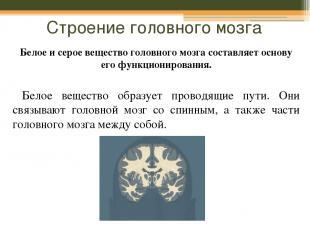 Строение головного мозга Белое и серое вещество головного мозга составляет основ