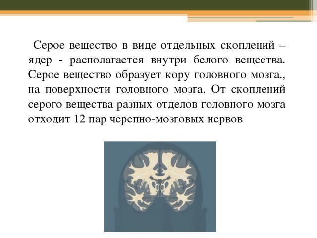 Серое вещество в виде отдельных скоплений – ядер - располагается внутри белого вещества. Серое вещество образует кору головного мозга., на поверхности головного мозга. От скоплений серого вещества разных отделов головного мозга отходит 12 пар черепн…