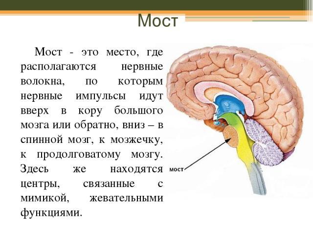Мост Мост - это место, где располагаются нервные волокна, по которым нервные импульсы идут вверх в кору большого мозга или обратно, вниз – в спинной мозг, к мозжечку, к продолговатому мозгу. Здесь же находятся центры, связанные с мимикой, жевательны…