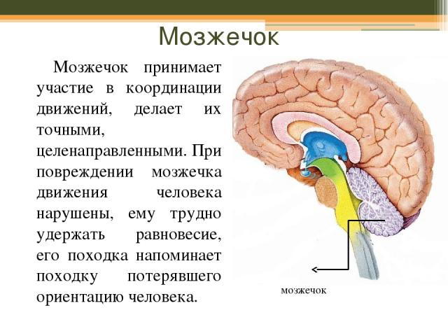 Мозжечок Мозжечок принимает участие в координации движений, делает их точными, целенаправленными. При повреждении мозжечка движения человека нарушены, ему трудно удержать равновесие, его походка напоминает походку потерявшего ориентацию человека. мозжечок