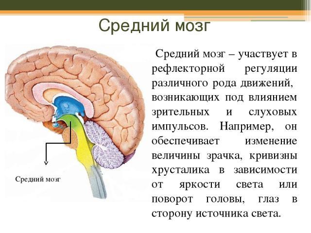 Средний мозг Средний мозг – участвует в рефлекторной регуляции различного рода движений, возникающих под влиянием зрительных и слуховых импульсов. Например, он обеспечивает изменение величины зрачка, кривизны хрусталика в зависимости от яркости свет…