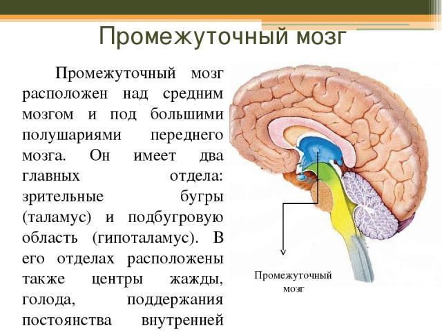 Промежуточный мозг Промежуточный мозг расположен над средним мозгом и под большими полушариями переднего мозга. Он имеет два главных отдела: зрительные бугры (таламус) и подбугровую область (гипоталамус). В его отделах расположены также центры жажды…