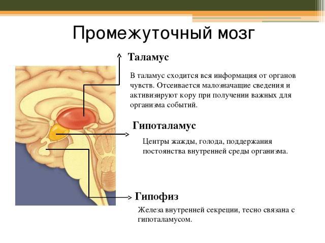 Промежуточный мозг Таламус В таламус сходится вся информация от органов чувств. Отсеивается малозначащие сведения и активизируют кору при получении важных для организма событий. Гипоталамус Центры жажды, голода, поддержания постоянства внутренней ср…