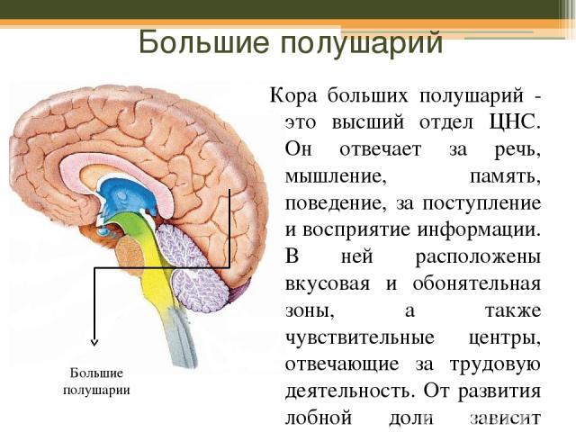 Большие полушарий Кора больших полушарий - это высший отдел ЦНС. Он отвечает за речь, мышление, память, поведение, за поступление и восприятие информации. В ней расположены вкусовая и обонятельная зоны, а также чувствительные центры, отвечающие за т…