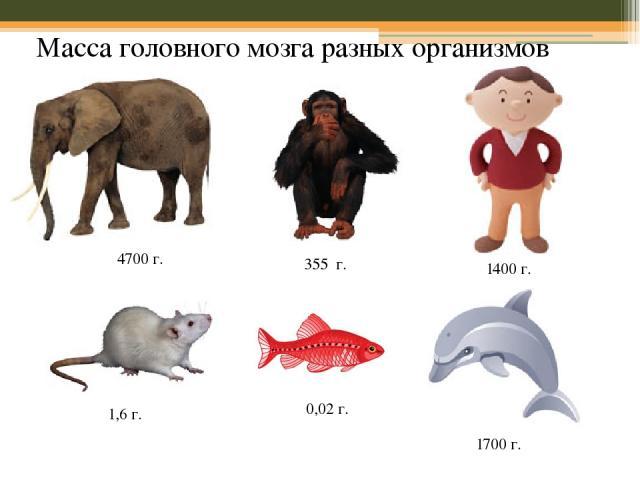 Масса головного мозга разных организмов 4700 г. 355 г. 1400 г. 1,6 г. 1700 г. 0,02 г.