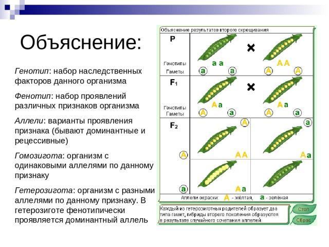 Объяснение: Генотип: набор наследственных факторов данного организма Фенотип: набор проявлений различных признаков организма Аллели: варианты проявления признака (бывают доминантные и рецессивные) Гомозигота: организм с одинаковыми аллелями по данно…