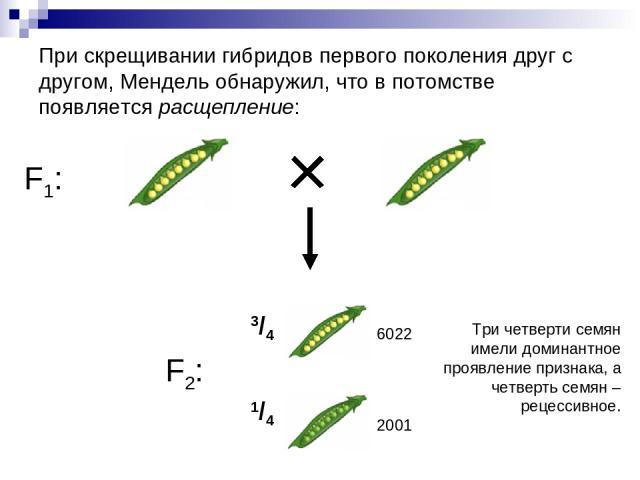 При скрещивании гибридов первого поколения друг с другом, Мендель обнаружил, что в потомстве появляется расщепление: F1: F2: 3/4 1/4 Три четверти семян имели доминантное проявление признака, а четверть семян – рецессивное. 6022 2001