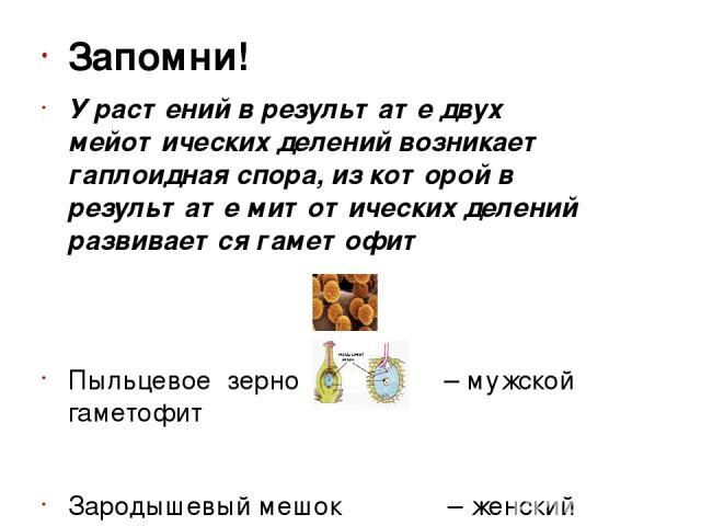 Запомни! У растений в результате двух мейотических делений возникает гаплоидная спора, из которой в результате митотических делений развивается гаметофит Пыльцевое зерно – мужской гаметофит Зародышевый мешок – женский гаметофит