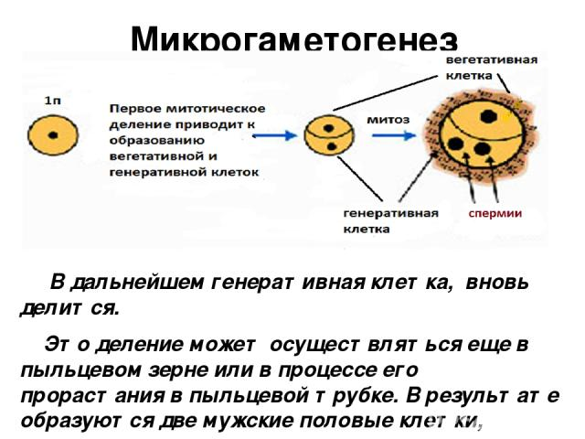 Микрогаметогенез В дальнейшем генеративная клетка, вновь делится. Это деление может осуществляться еще в пыльцевом зерне или в процессе его прорастания в пыльцевой трубке. В результате образуются две мужские половые клетки, которые в отличие от спер…