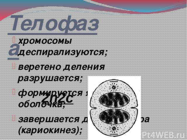 Телофаза хромосомы деспирализуются; веретено деления разрушается; формируется ядерная оболочка; завершается деление ядра (кариокинез); деление цитоплазмы (цитокинез); на месте материнской клетки возникают две дочерние 2n2c